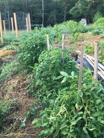 Rutgers, Jubilee and Grandma Mary tomatoes